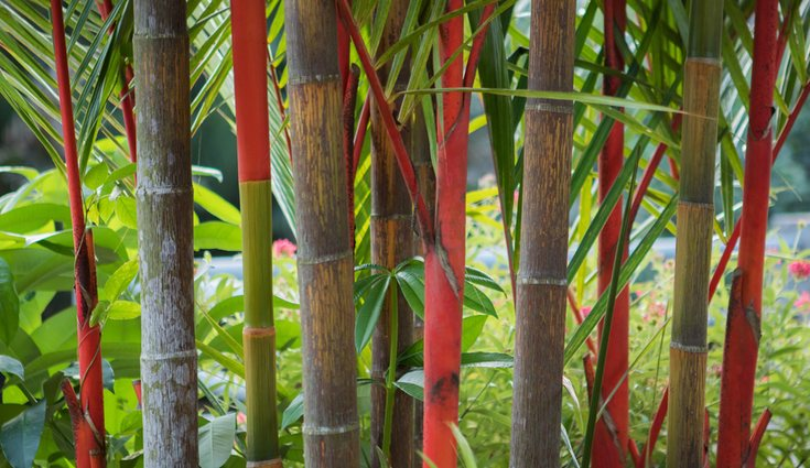 Algunas especies de palmera roja en Sumatra