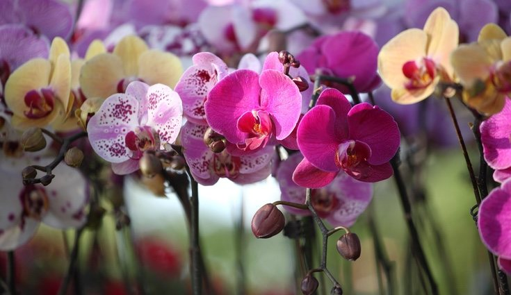 La orquídea es una flor exótica