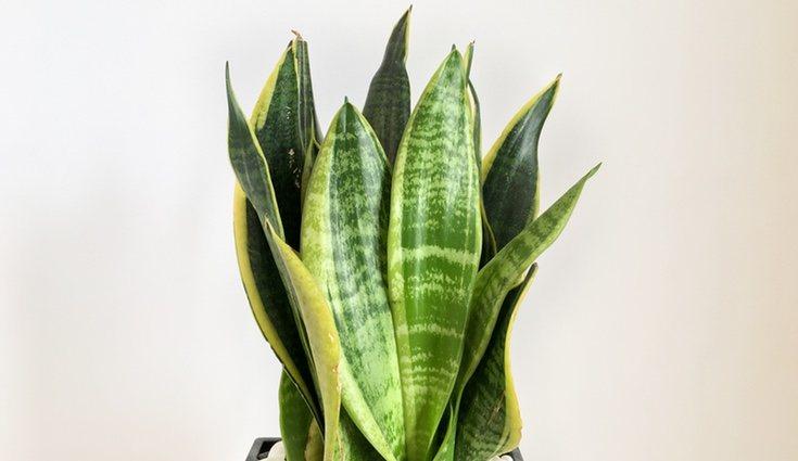 La planta sanseviera se caracteriza por unas hojas muy peculiares