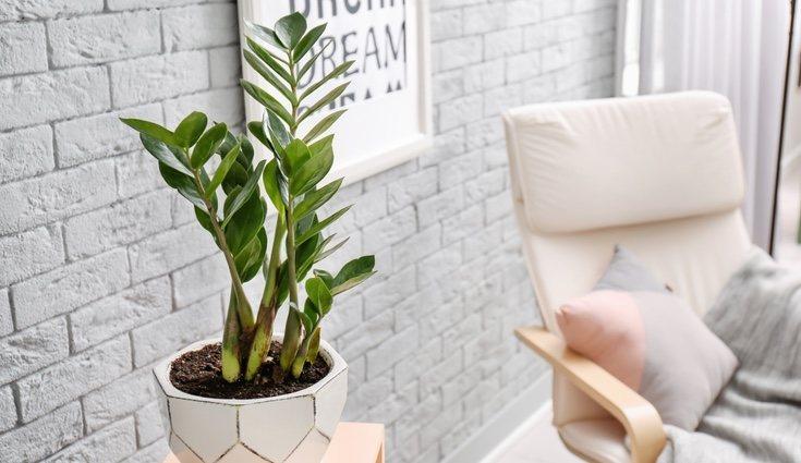 La Zamioculca es una planta ideal para zonas poco iluminadas