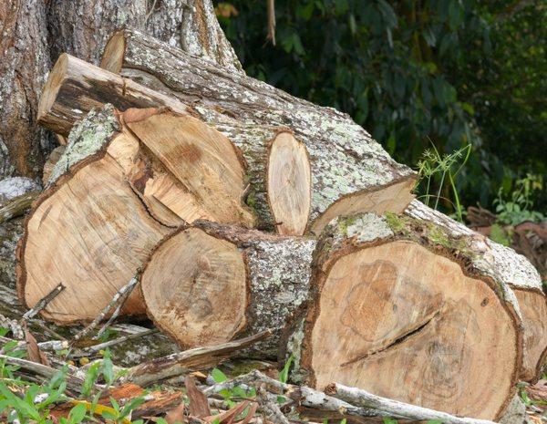 Apilación de troncos de árboles recién talados