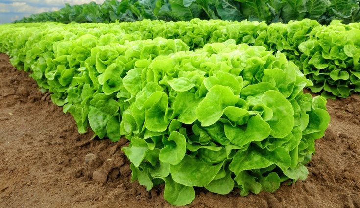 La cosecha se puede realizar a lo largo de los 365 días anuales