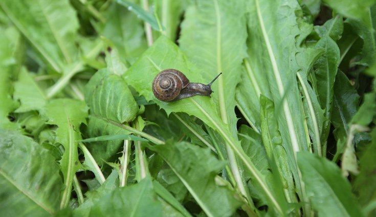 Las plagas más comunes que suelen tener las lechugas son de caracoles
