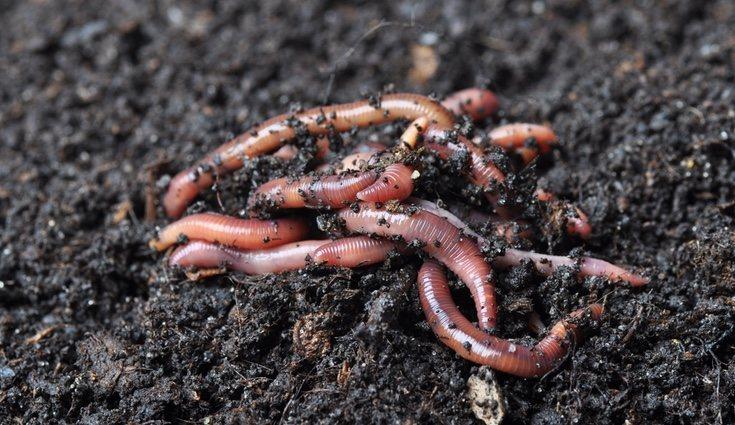 La civilización sumeria sabía ver la calidad que tenían los suelos al observar la densidad de las lombrices