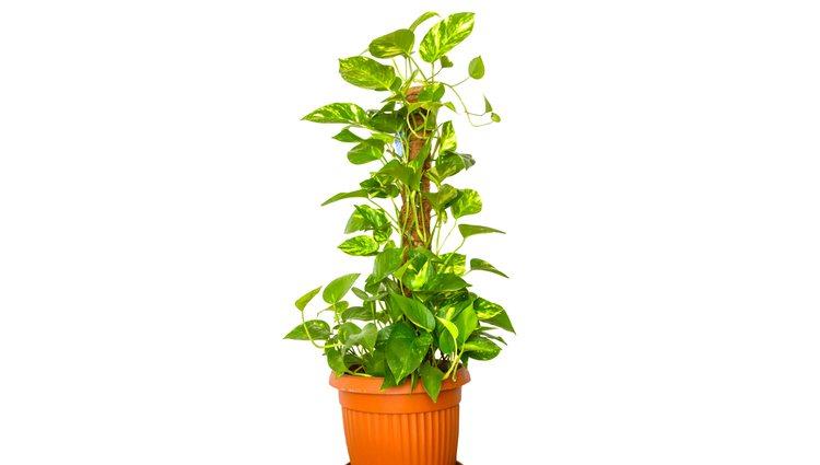 Si disponen de un buen soporte, estas plantas trepadoras podrán alcanzar un gran tamaño