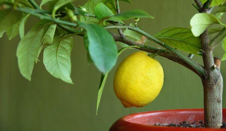 El limonero no necesita estar plantado directamente en el suelo para dar frutos