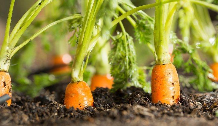 Las zanahorias son resistentes al frío del invierno