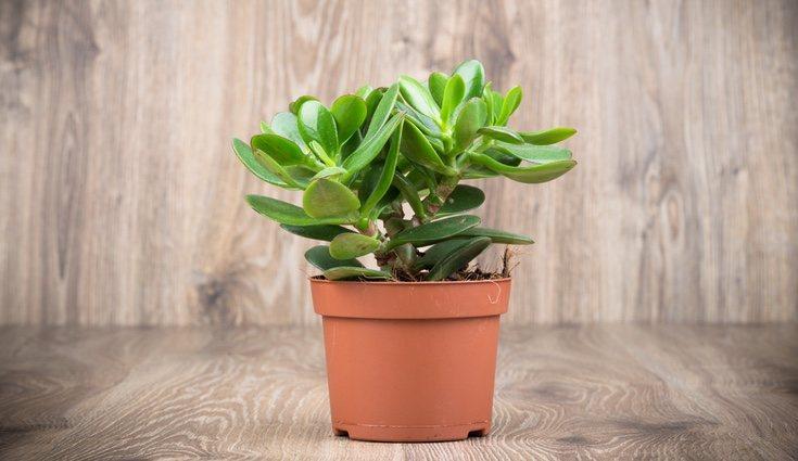 La planta de jade es de crecimiento lento pero lo compensa con la larga vida que tiene