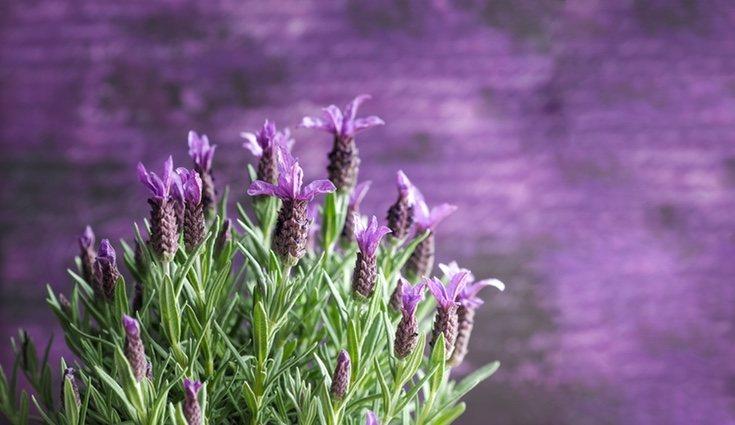 Las flores de la lavanda tienen propiedades calmantes
