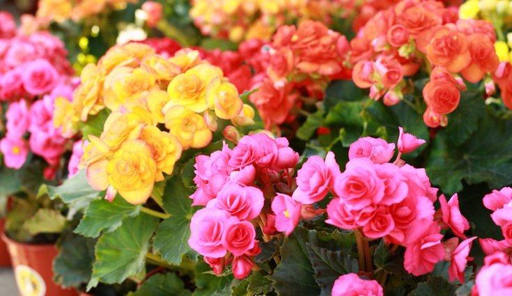 Hay begonias de muchos colores, innunda de color el paisaje con esta planta