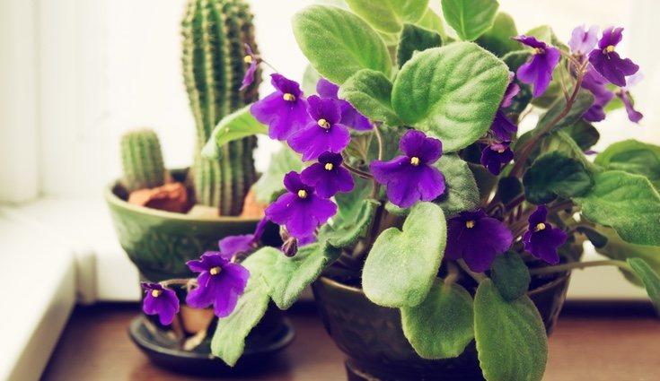 Las flores de la violeta africana pueden florecer durante todo el año