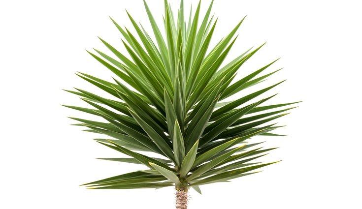 La yuca de exterior tiene una forma muy parecida a la palmera