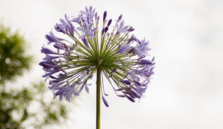 El agapanto es una maginifica flor para aquellos que no tienen mano para la jardinera por la sencillez de su cuidado