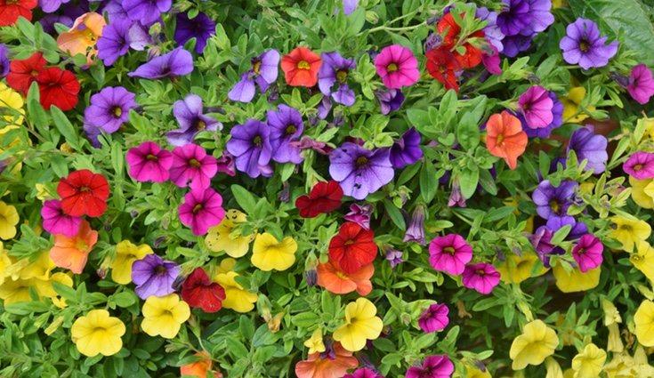 Las petunias son de muchos colores y darán un toque alegre a tu terraza o balcón