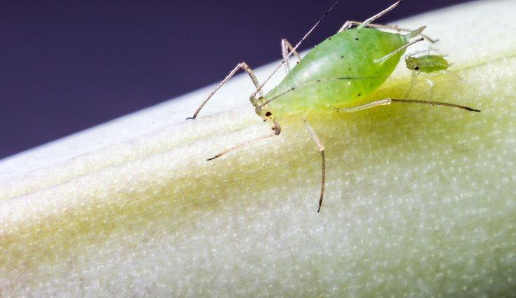Suelen ser muy pequeños y de color verde o negro