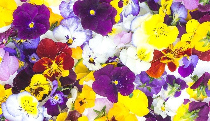 El pensamiento es una flor que no requiere de grandes cuidados