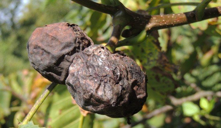En las frutas cítricas las enfermedades se propagan con mayor rapidez
