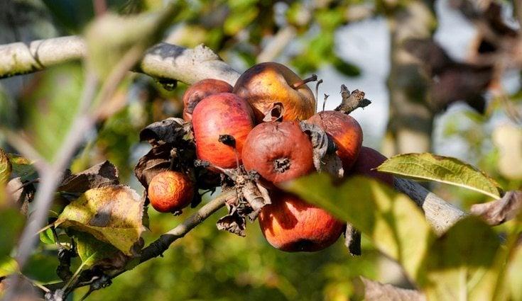 Las enfermedades en frutas y hierbas pueden manifestarse muy rápido o tardar en hacerlo, por ello es necesario controlar los cultivos