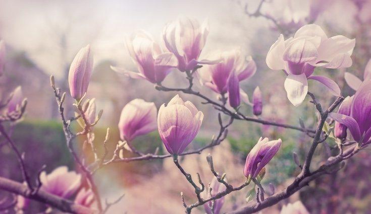 Los magnolios son uno de los árboles más bonitos por sus perfumadas y enormes flores