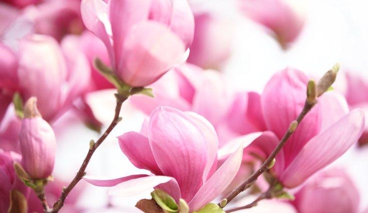 Los magnolios son árboles de clima cálido