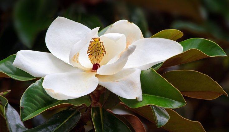 Es importante que el magnolio esté constantemente en el sol