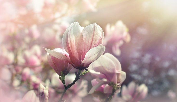 Para que el magnolio tenga un gran crecimiento el suelo debe estar húmedo
