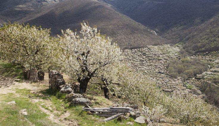 plantar un cerezo es más fácil de lo que parece