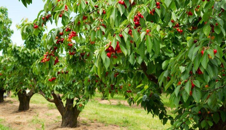 El Valle de Jerte (Cáceres) ofrece una bonita ruta donde ver cerezos