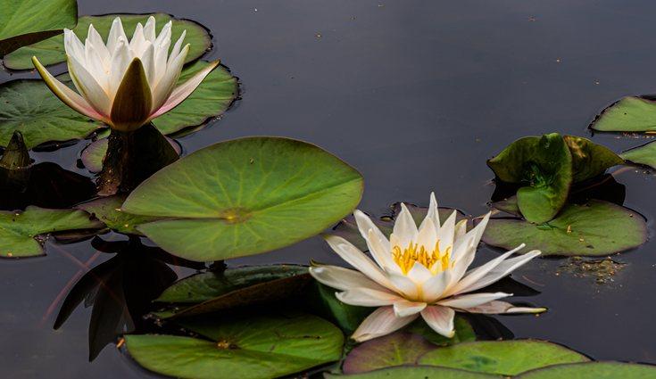 Los nenúfares suelen estar en lagos, charcos o aguas estancadas
