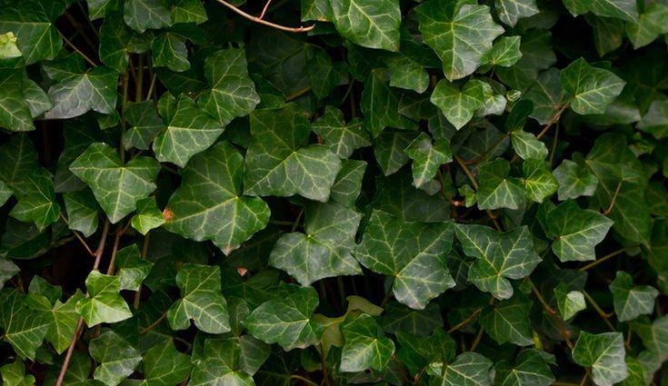 La hiedra es una planta rica en frescor y sombra en verano