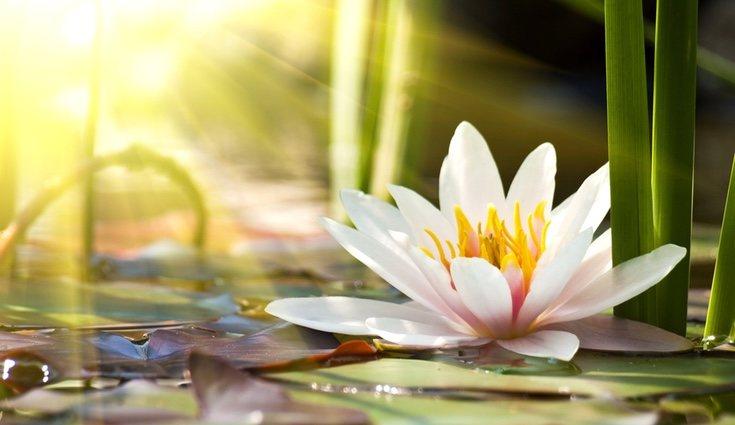 La flor de loto crece en estanques y lagos