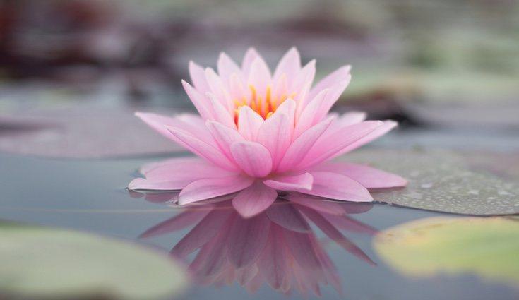 La flor de loto es una de las más hermosas para admirar