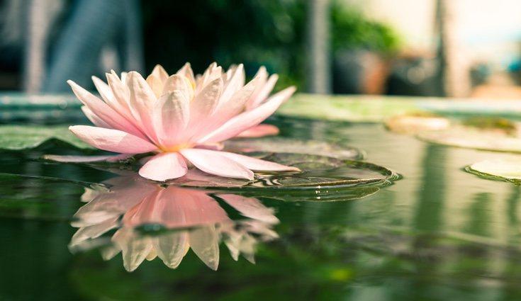 La flor de loto no necesita demasiados cuidados, por lo que es fácil ocuparse de ella