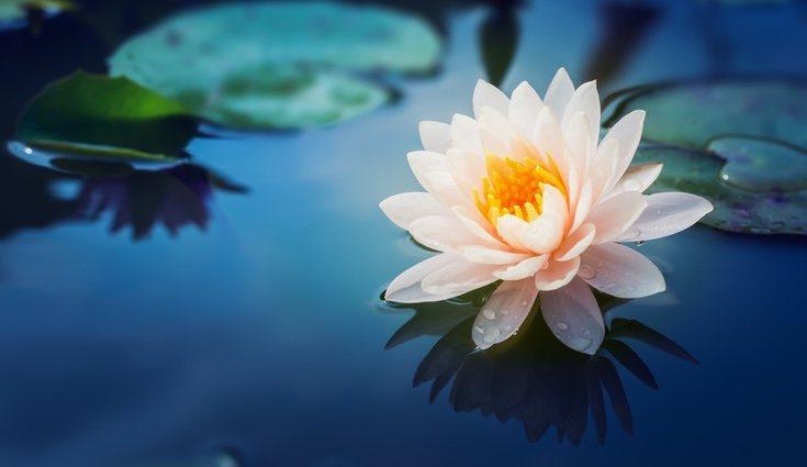 La flor de loto es muy importante dentro del budismo