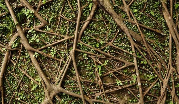 Las raíces pueden acabar desapareciendo por sí solas con el paso del tiempo