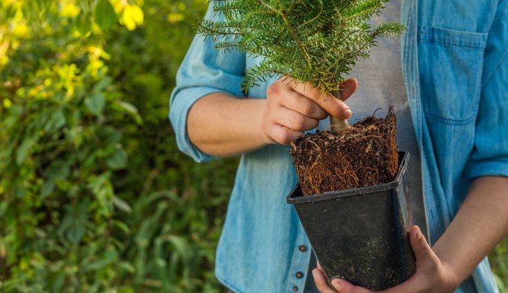 Si tienes un jardín espacioso podrás plantar ahí tu abeto natural
