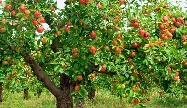 Consiste en generar una gran cantidad de frutos durante el año