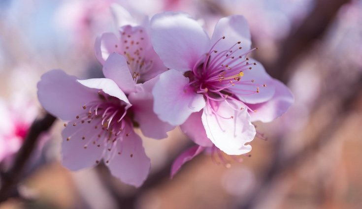 La flor del melocotonero recuerda a la de cerezo o el almendro
